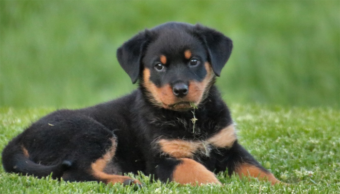 Looking for Rottweiler Puppies for Sale? Read this Buyer's Guide