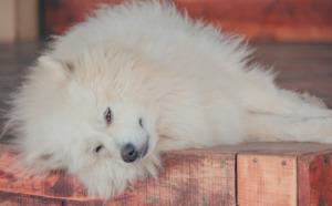 Samoyed dog lying on the ground