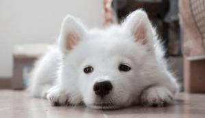 Samoyed puppy lying on the ground