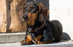 Senior Dachshund dog