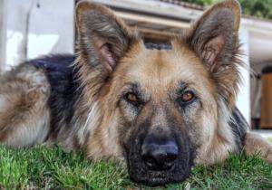 Senior German Shepherd Lying on the grass
