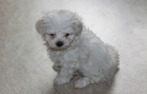 Senior Maltese Dog