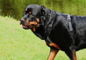 Senior Rottweiler dog