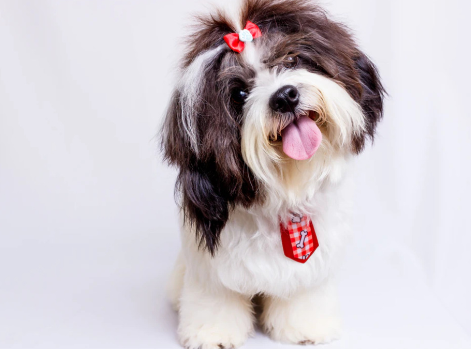 Shih Tzu with ribbon smiling