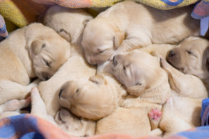 Six Pug Puppies