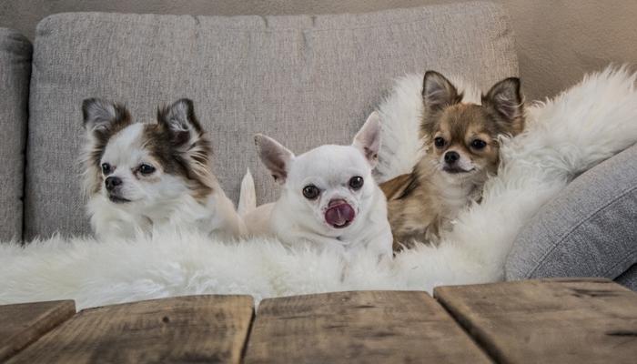 Three Chihuahua dog on a sofa