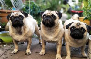 Three Pug Dogs