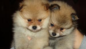 Two Pomeranian puppies