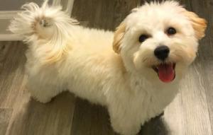 White Malteepo Dog