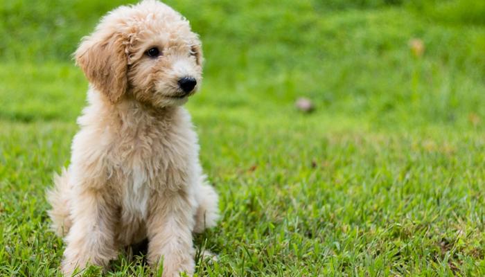 10 Best Dog Food for Goldendoodles in 2021