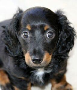 Mini Long Hair Dachshund Puppy
