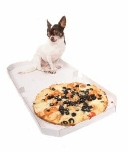 chihuahua and the pizza on the white background