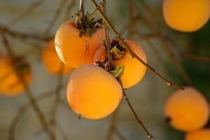 fruit khaki fall persimmon