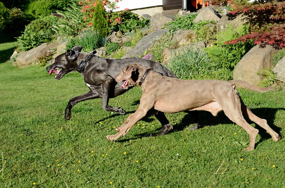 How to Train a Great Dane to Run