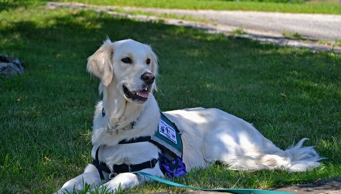 A service dog on a green lawn