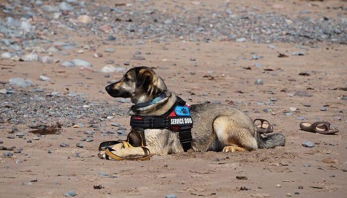 A service dog or animal on sand