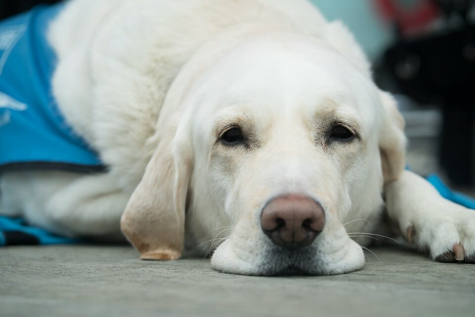 How to Manage the Pain after Spaying your Dog