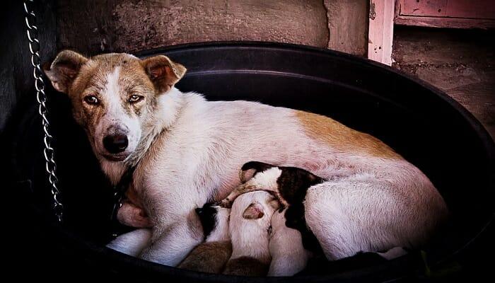 Puppies feeding on their mom's nipples