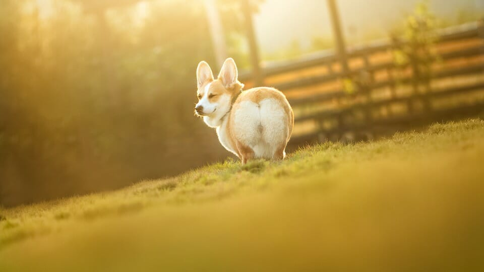 What is the Healthy Weight of a Corgi?