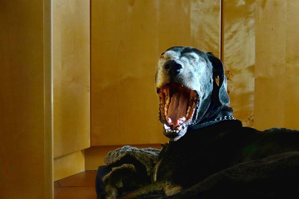 A great dane yawning