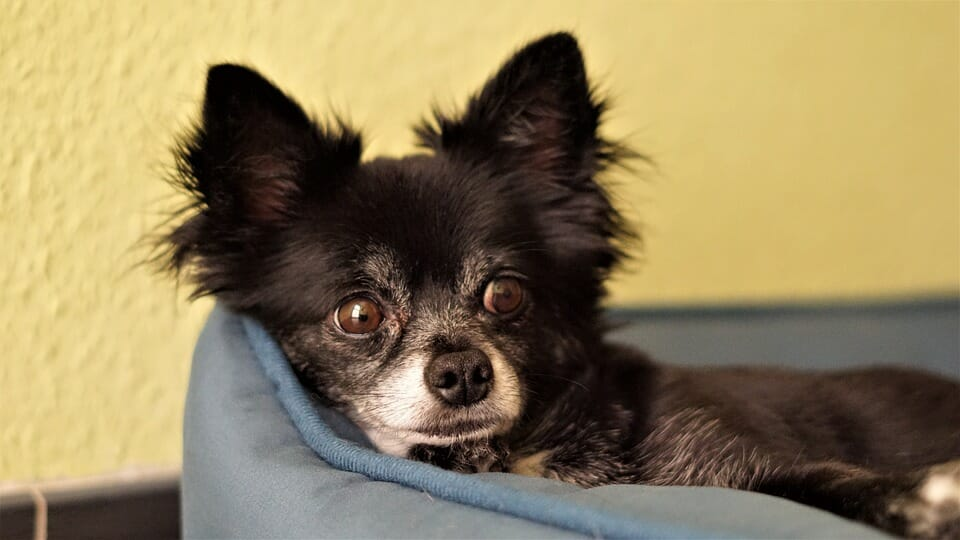 6 Ways to Determine if your Chihuahua is Pregnant