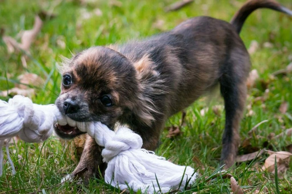 Why Are Chihuahuas So Aggressive