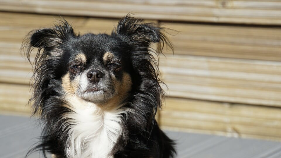 Past Abuse in chihuahua