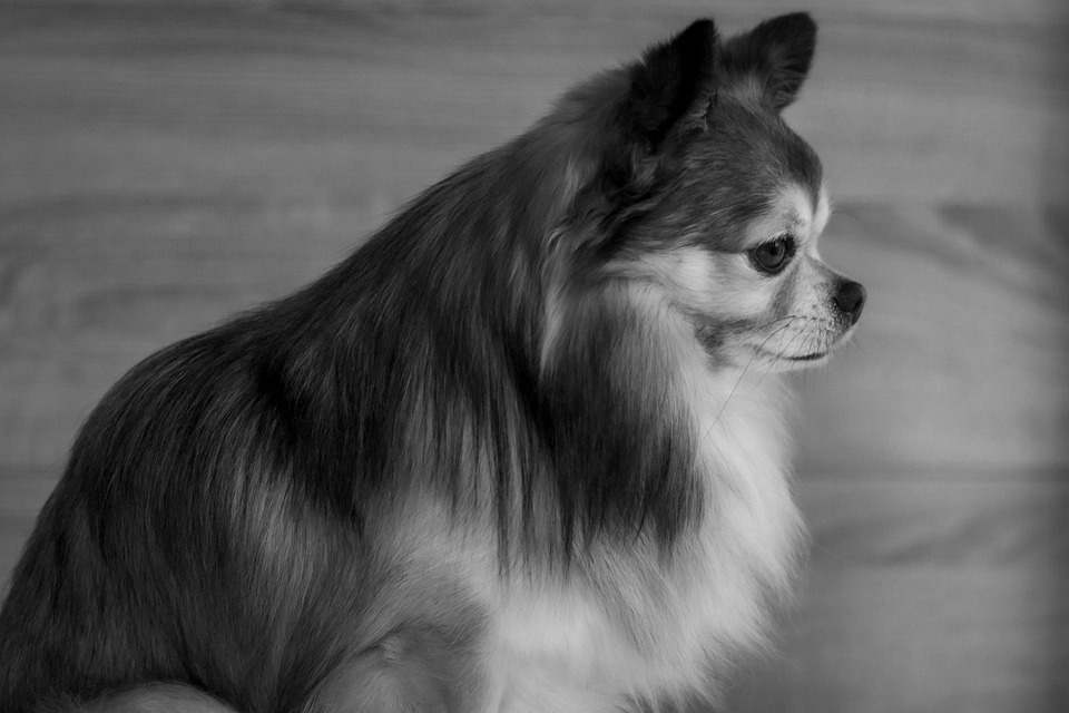 Immediate Identification of a Chihuahua Pregnancy