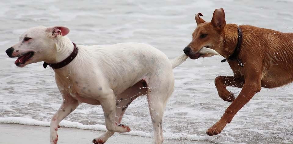 Brown dog biting a white dog's tail
