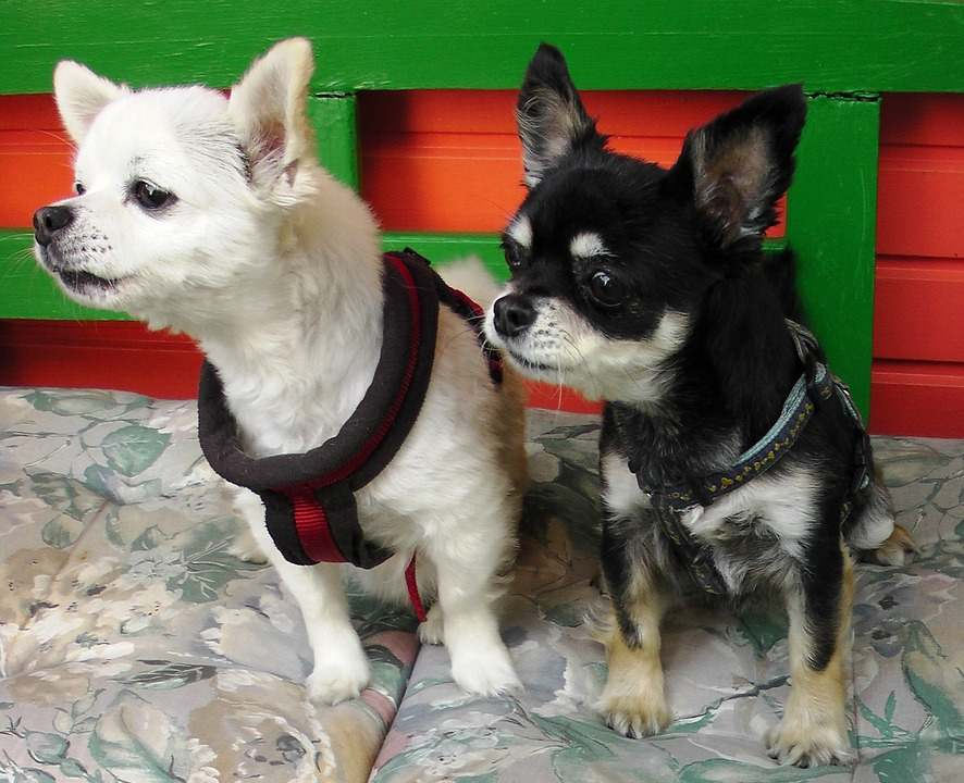 Understanding Why Are Chihuahuas So Aggressive