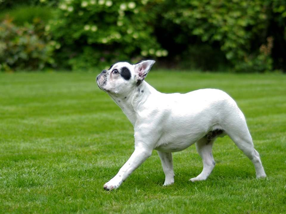 How Do I Ensure Healthy Growth for my French Bulldog?