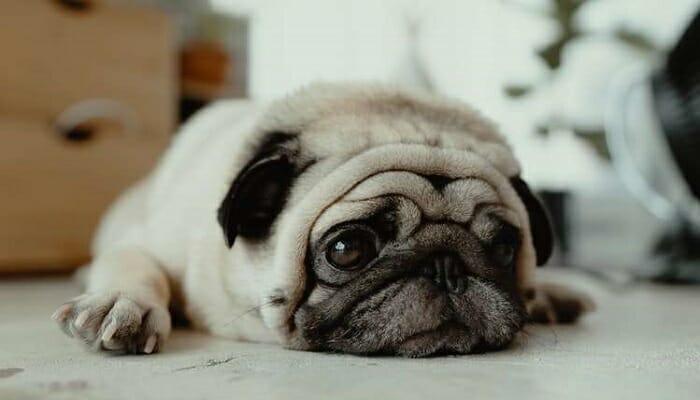 A-pug-lying-flat-on-the-floor