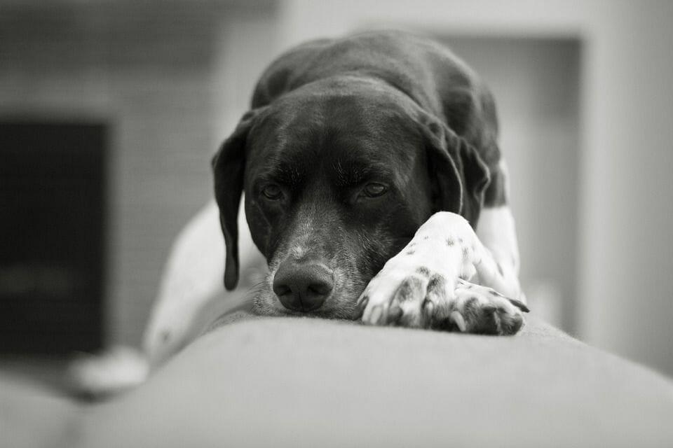 A sedated and sleepy-looking dog