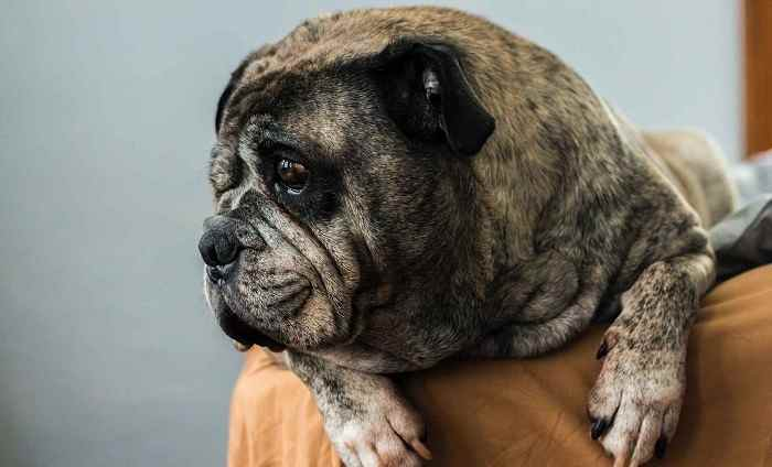 Why Do Pugs Shed and When?