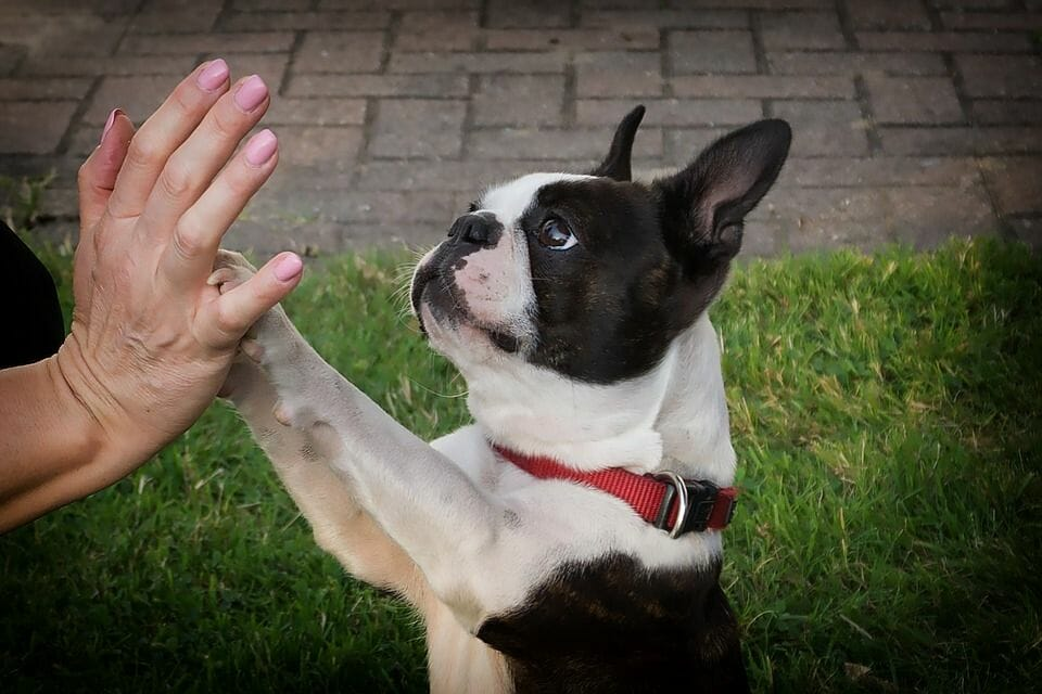 A white and black coated pug standing and holding a human's palm