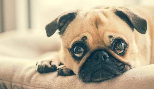 What is the oldest living pug?