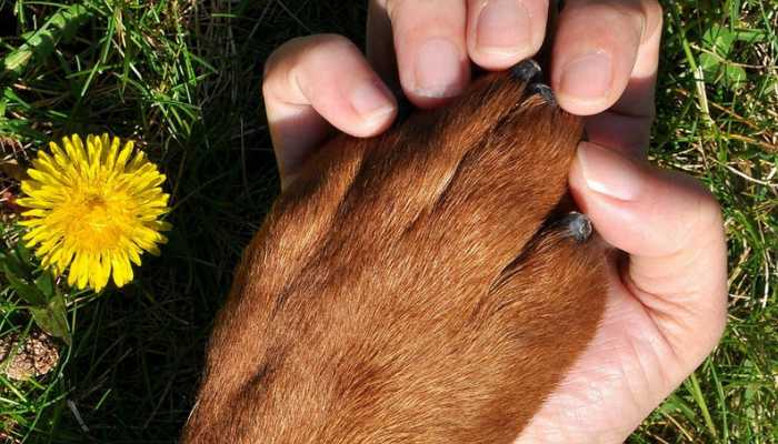 Brown dog's paw held by a human's palm