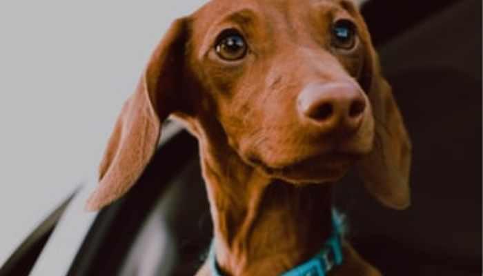 Clingy dachshund left alone inside a car