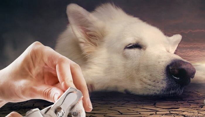 Clipping a white dog's nail