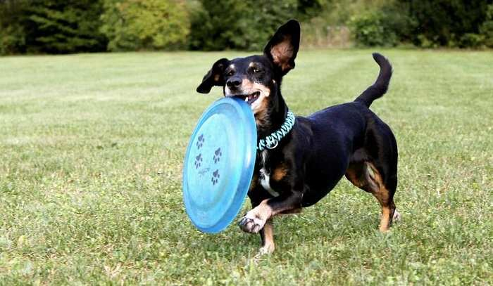 Are Dachshunds Easy to Train?