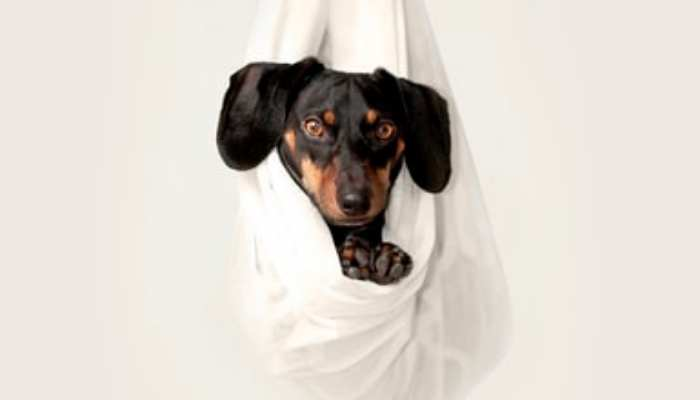 Dachshund puppy on a hammock