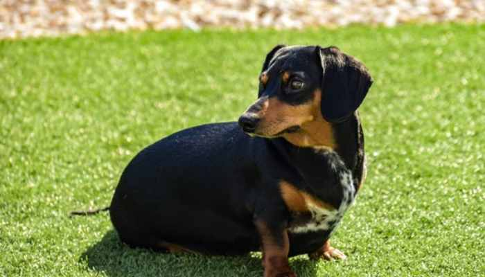 How can I help my dachshund lose weight?