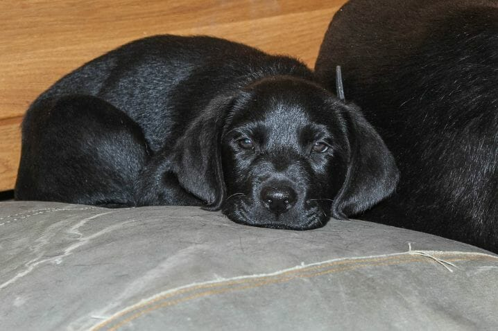How to Potty Train a Labrador Puppy Tips to Make Potty Training a Labrador Puppy Easier