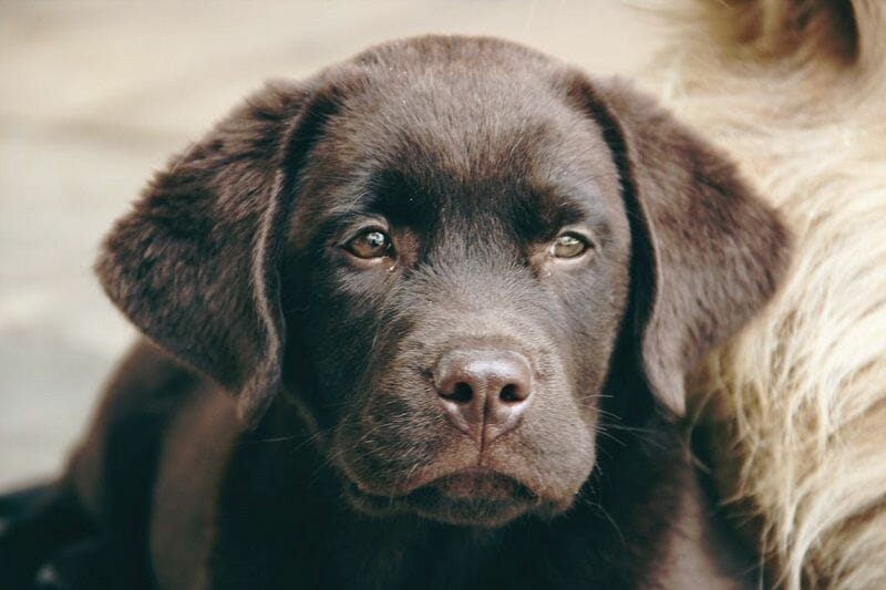Tips to Make Potty Training a Labrador Puppy Easier The Importance of a Command