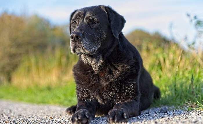 Can I Run with a Senior Labrador Retriever?