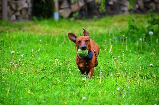 How to Keep Your Dachshund at the Ideal Weight?