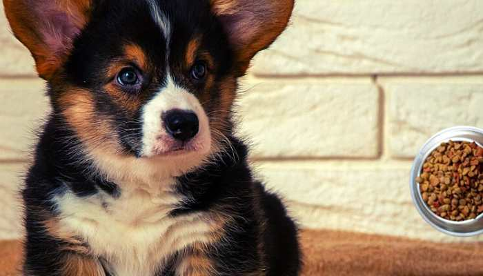 How Much to Feed Corgi Puppy