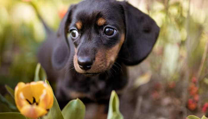 How much does a dachshund cost?