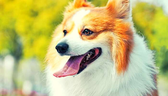 How to Choose the Right Corgi For You