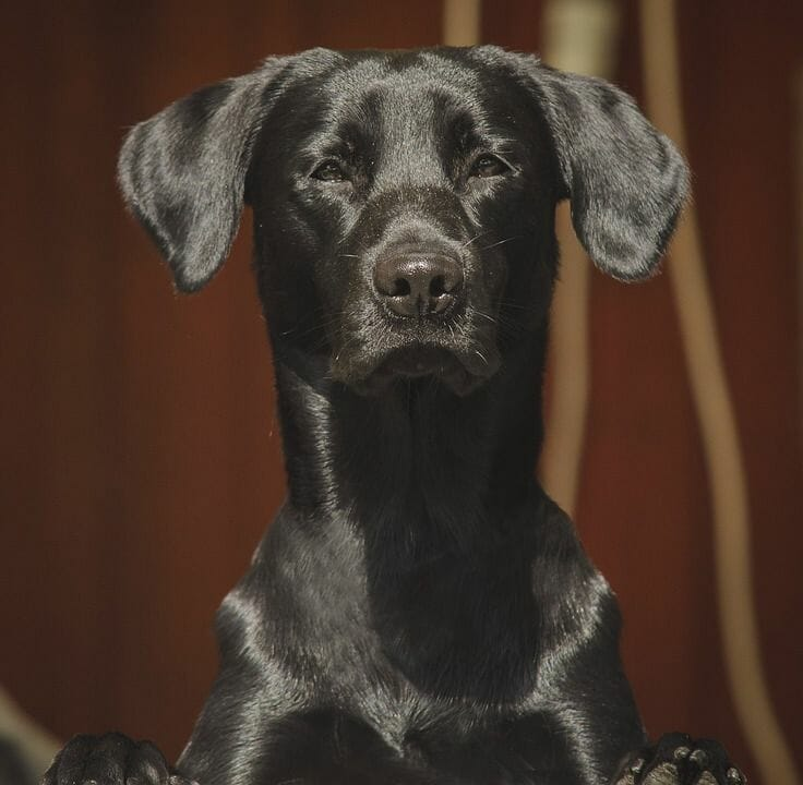 What Affects the Weight of My Labrador?